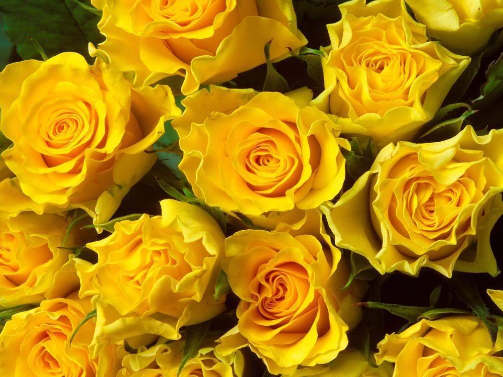 Yellow Rose flowers flowers  Beautiful
