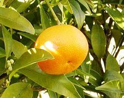 قائمة الفواكه 250px-Mandarina