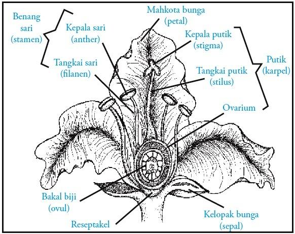 ... Tertutup (Angiospermae) : Ciri-ciri, Contoh, Reproduksi, Gambar