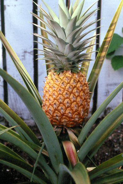 that pineapple top plant it don t toss it hawaii horticulture. Black Bedroom Furniture Sets. Home Design Ideas