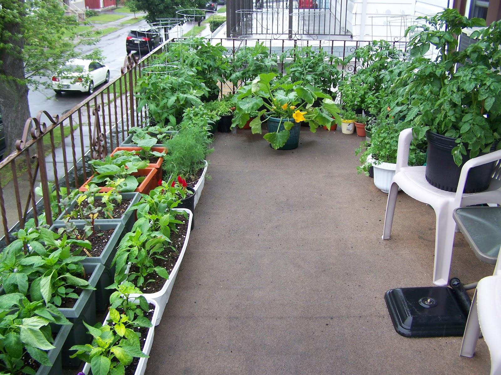 zucchini container garden