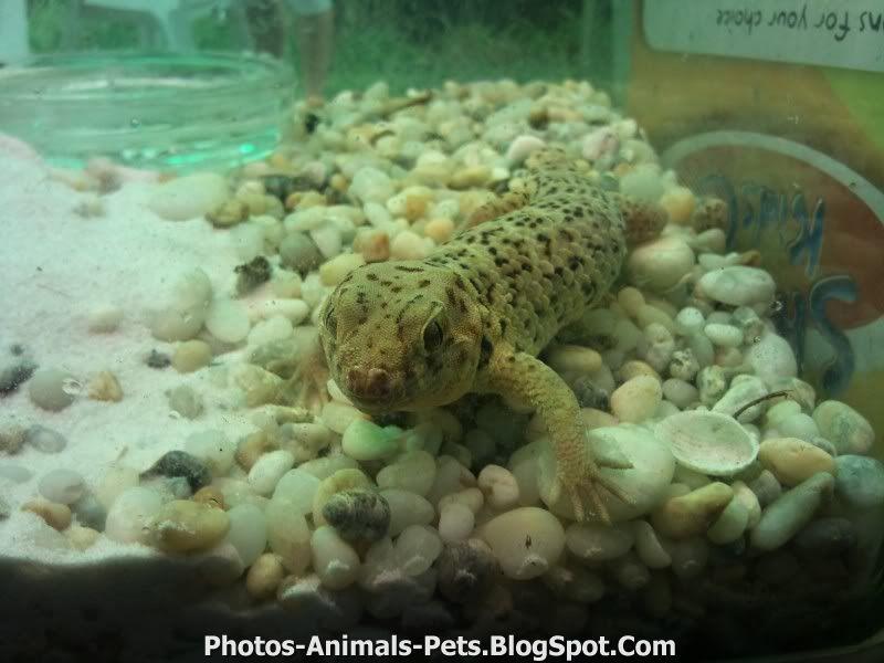 http://1.bp.blogspot.com/-oPP3siUZfmA/TxWPKnmfSgI/AAAAAAAAC6g/bwJn9aLA_mE/s1600/gecko%2Bpictures.jpg