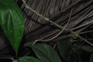 thin snake in cahuita costa rica