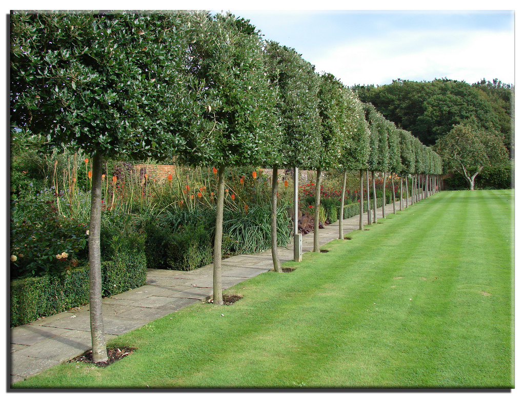 David Dangerous Pleached trees Stilted Trees Raised Hedging