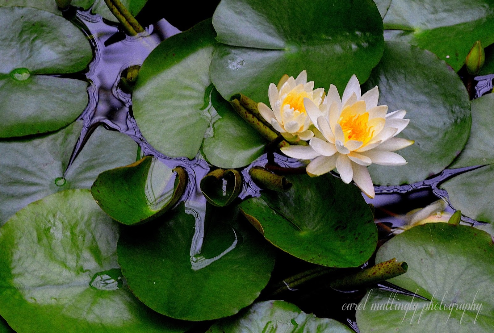 Carol mattingly photography white water lily garden conservatory average individual it might be hard to smell that scent what with the lily being too far away in the water to get a sniff i love the large lily pads izmirmasajfo