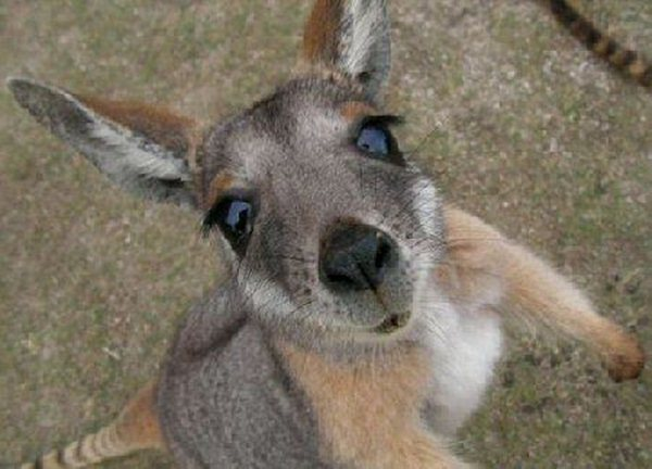funny animals, kangaroo