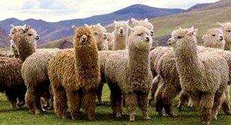 Alpacas Huacaya (Su fibra es opaca, rizada y esponjosa)