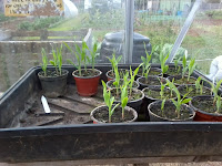 sweetcorn..second sowing