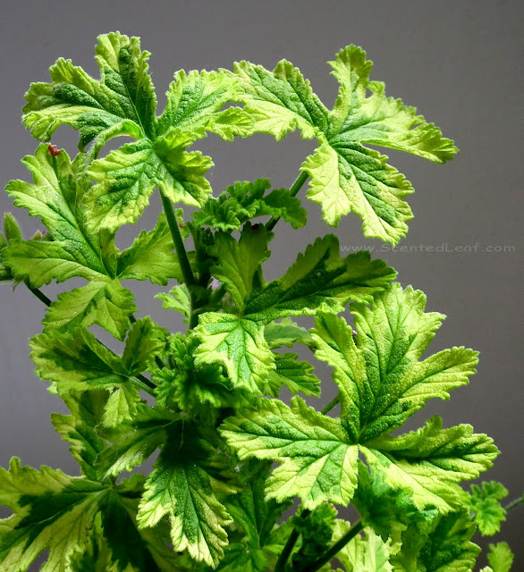 Pelargonium Charity variegated leaves