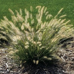 P r landscaping inc landscape plants l z for Short variegated grass