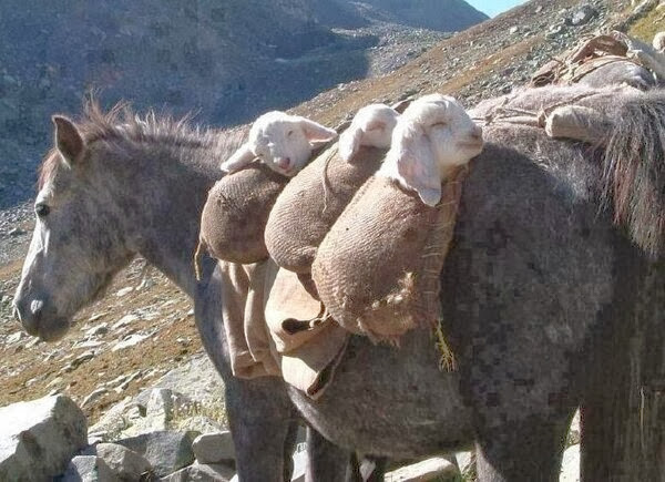 Funny animals of the week - 6 December 2013 (35 pics), donkey brings baby lamb on his back