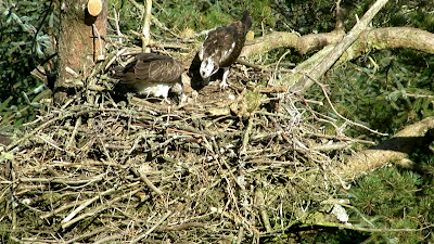 Three tiny osprey chicks hatched