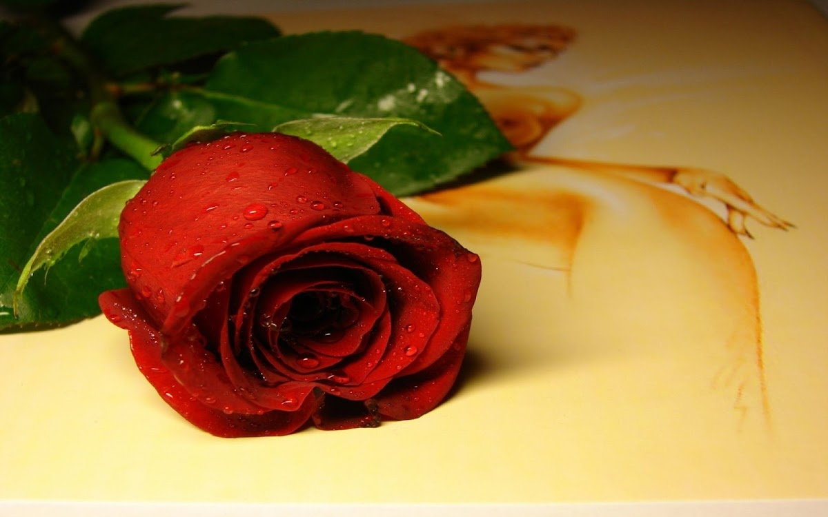 Red Rose Widescreen HD Wallpaper 9