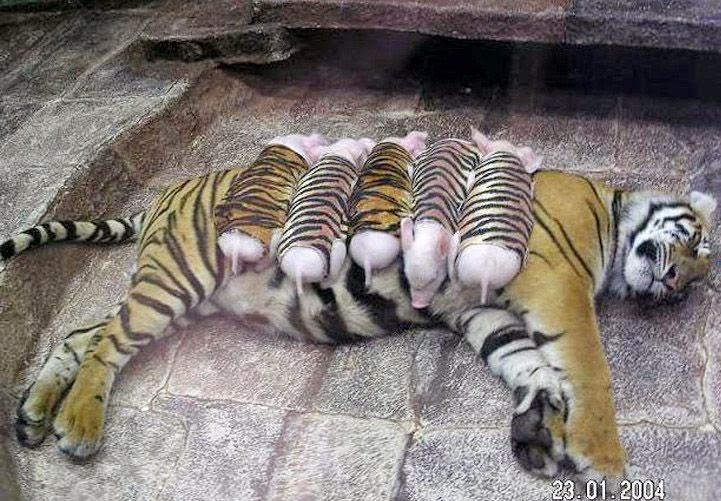 mamãe tigre alimentando porquinhos