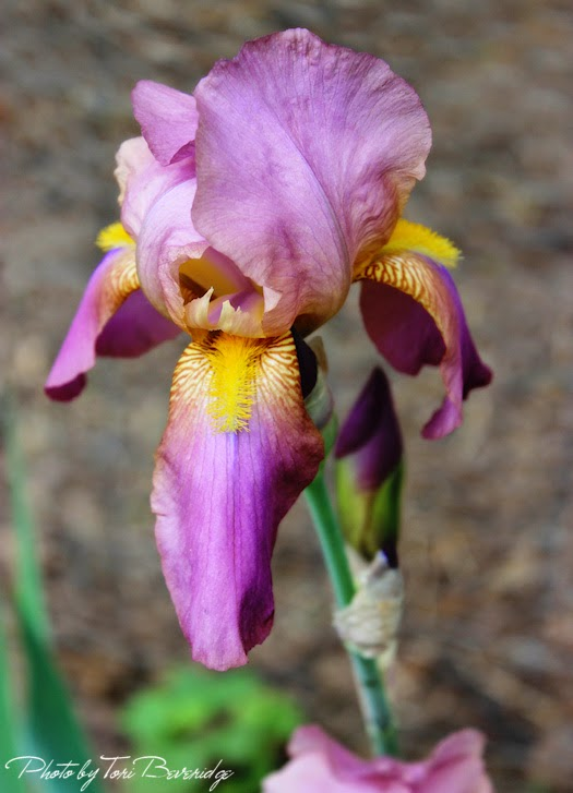 Rogue Iris Photo by Tori Beveridge