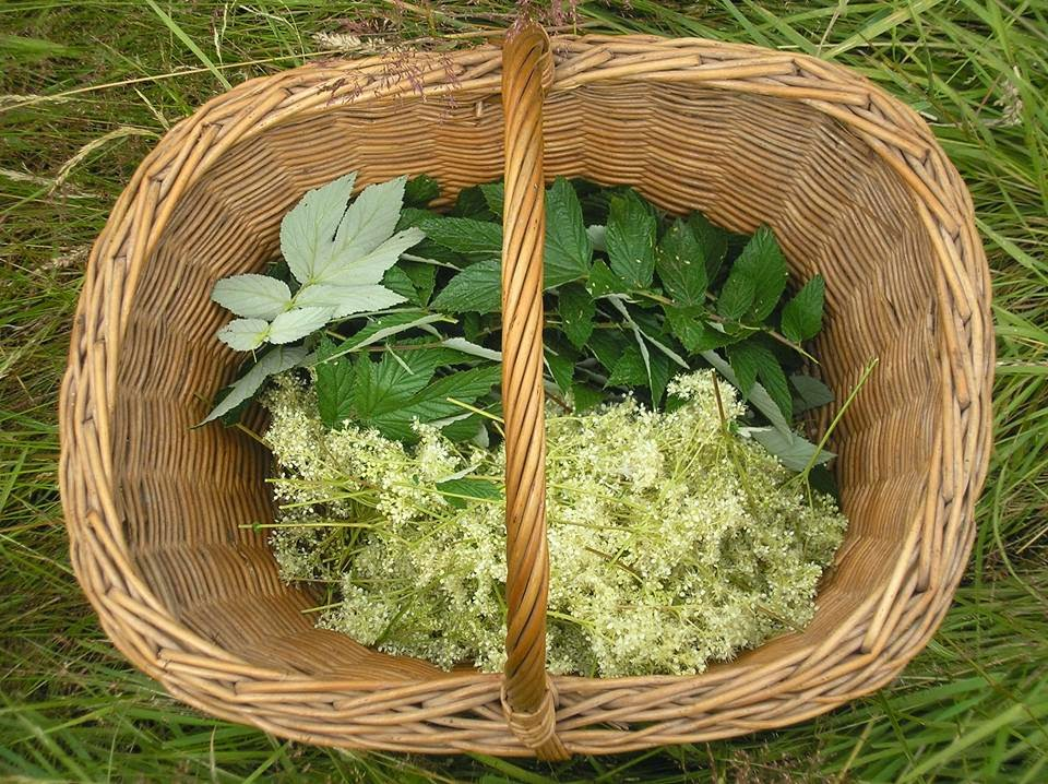Meadowsweet is a common herbal treatment for ulcers #lifeonpigrow #foraging
