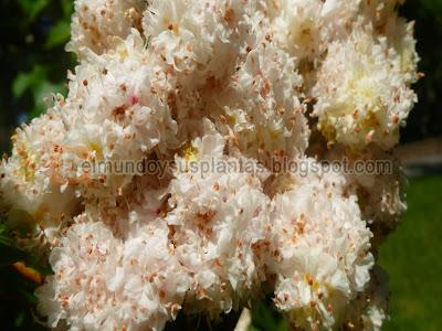 Flor aesculus hippocastanum