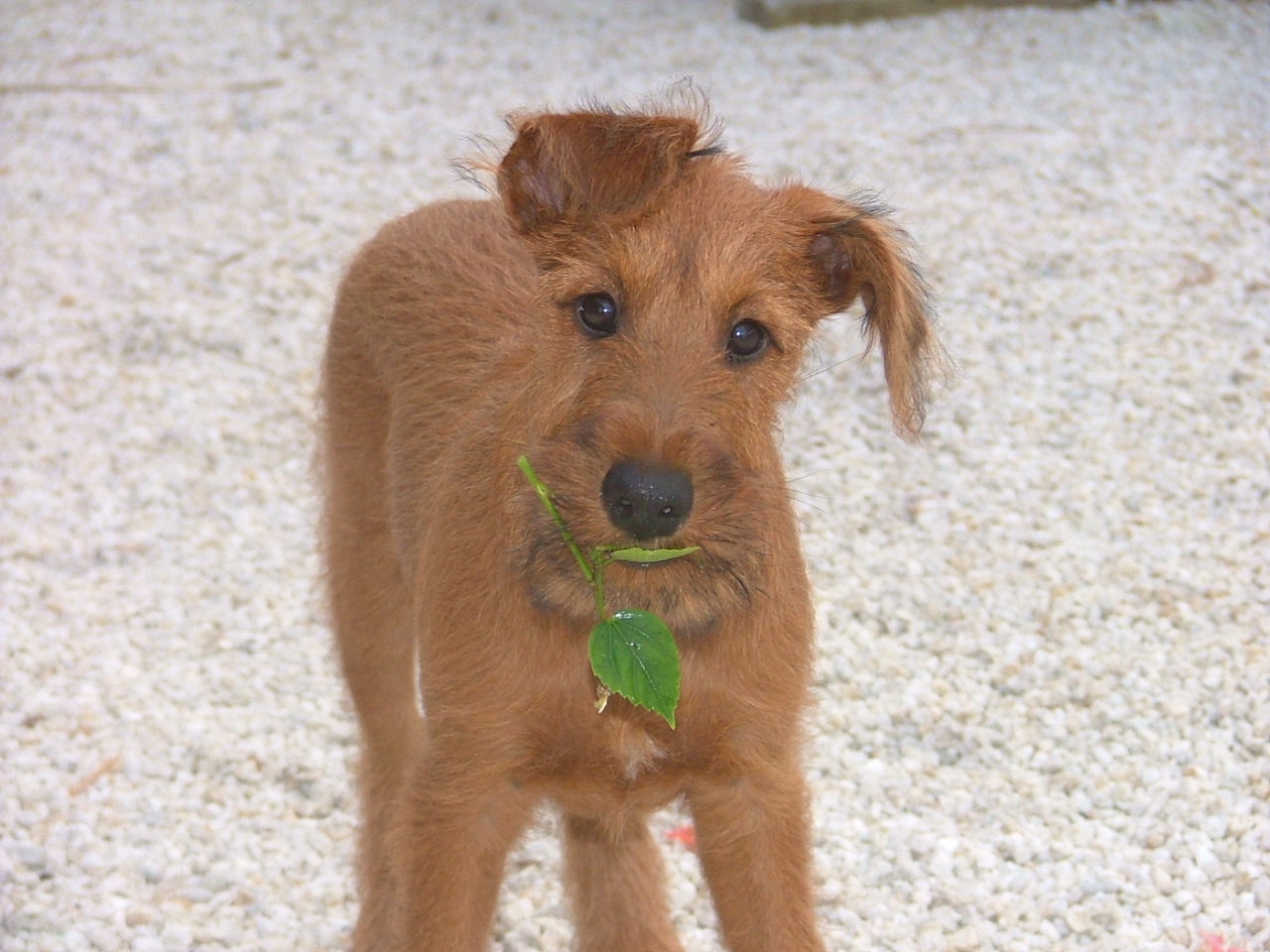 Smallest Full Grown Dog In The World