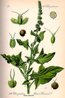 chenopodium+Flora+Duitsland+1885.jpg