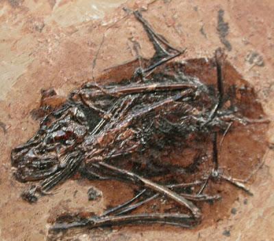 placa fosil de Palaeochiropteryx