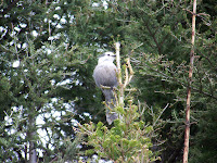 Gray Jay
