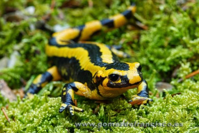 Salamandra común ( Salamandra salamandra)