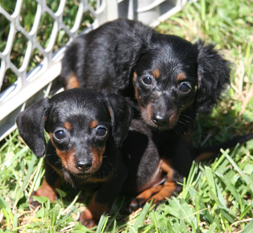 Picture Of A Dachshund: Pictures Of Dachshunds Puppies