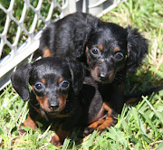 Nevertheless, cook in head that not all Dachshund Puppy Breeders that fuck a .