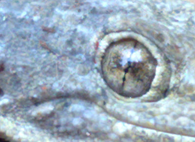 Ampliacion al 100% ojo de slamandra macro camara compacta