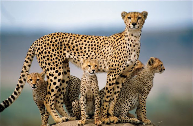 Female Cheetah with her Family 4