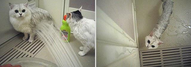 Divertidas fotos de gatos mojados en el baño