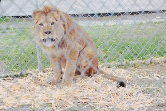 yawning lion sticking its tongue out