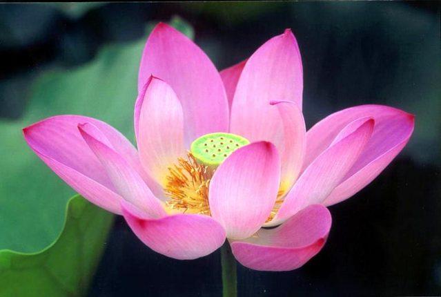 AMOR A LA VIDA - V28INFINITO: Flor de LOTO