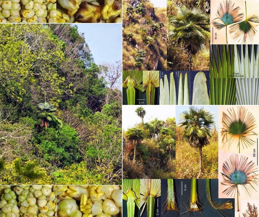 A New Species of Palm from Central Laos