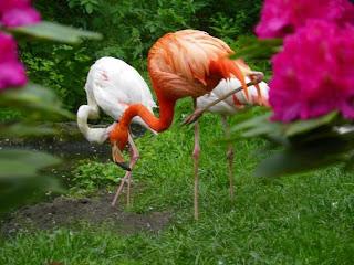 Flamencos de plumaje rosa y blanco