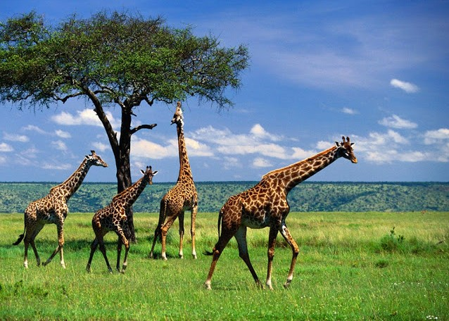 Giraffes-Wallpaper