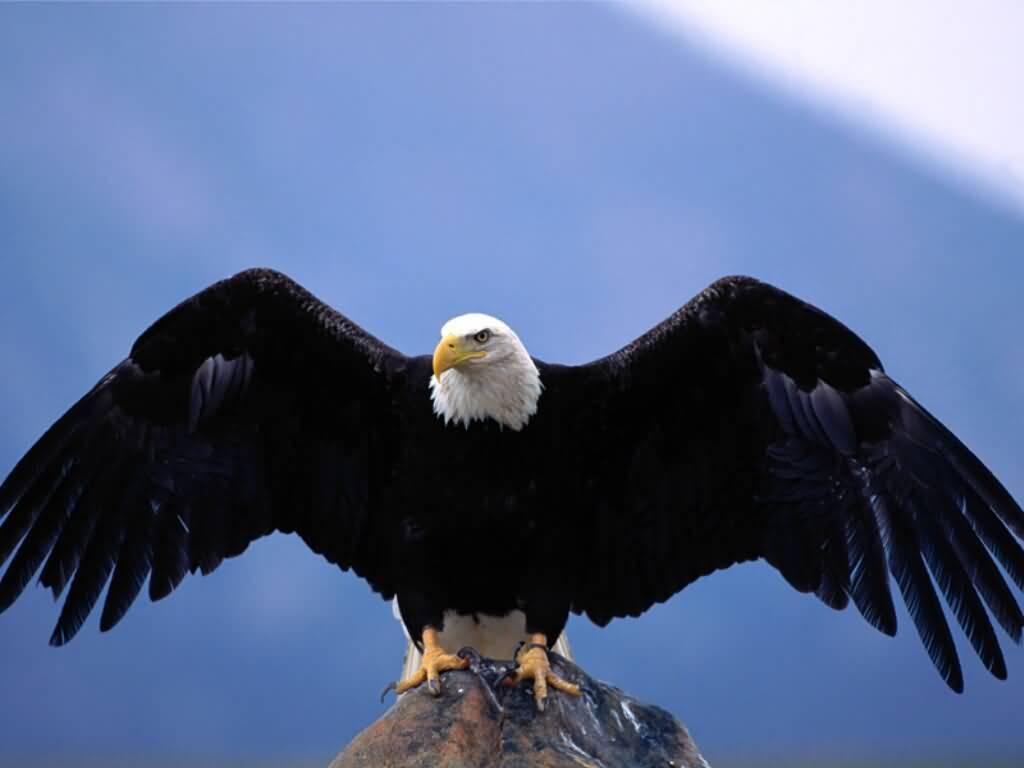 Free Wallpapers Blog: bald eagle wallpaper