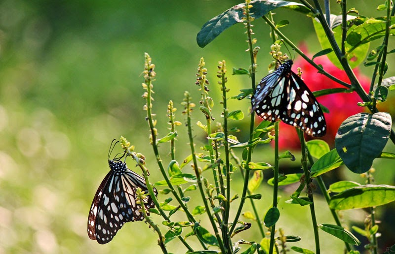Spotted Brown Butterfly drinking nectar from a plant