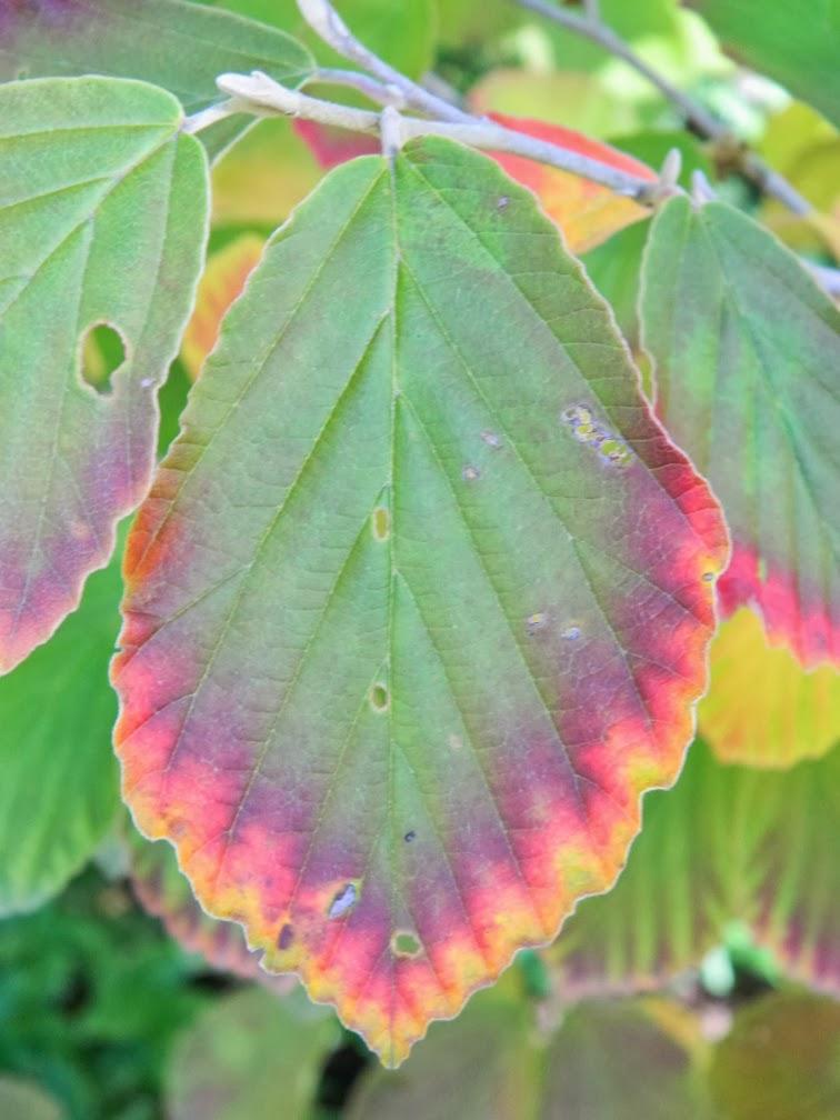 Hamamelis x intermedia Arnold Promise witch hazel leaf detail by garden muses-a Toronto gardening blog