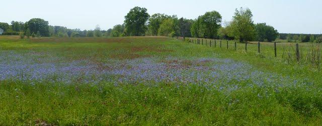 Blue Eyed Grass Drawing Full of Blue Cornflowers