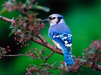 Hermoso pajarillo azul en las ramas de los árboles