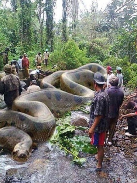 anaconda largest snake