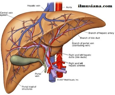 liver Excretory System Human Body