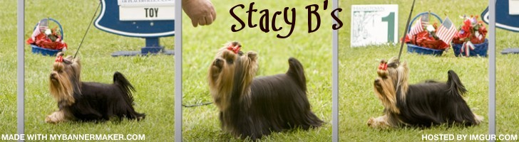 Stacy B Shih Tzu and Yorkshire Terrier