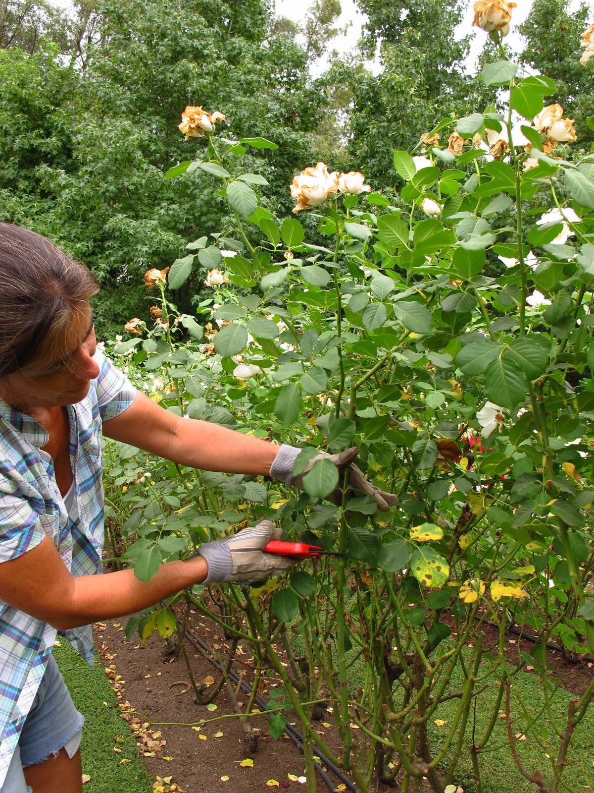 En el jardin poda de rosas en el verano - Poda de hortensias epoca ...