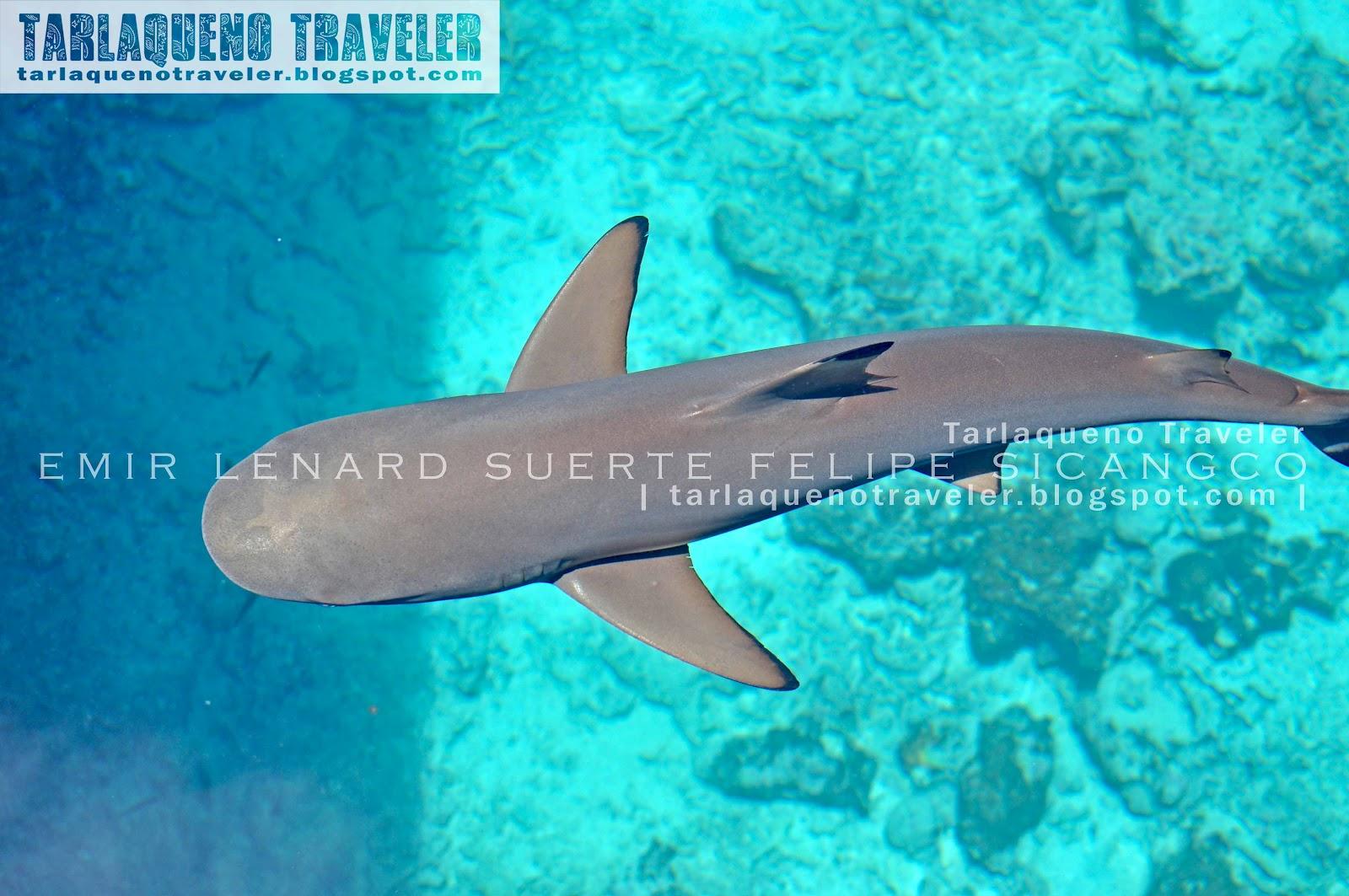 Shark at Hidden Island Resort