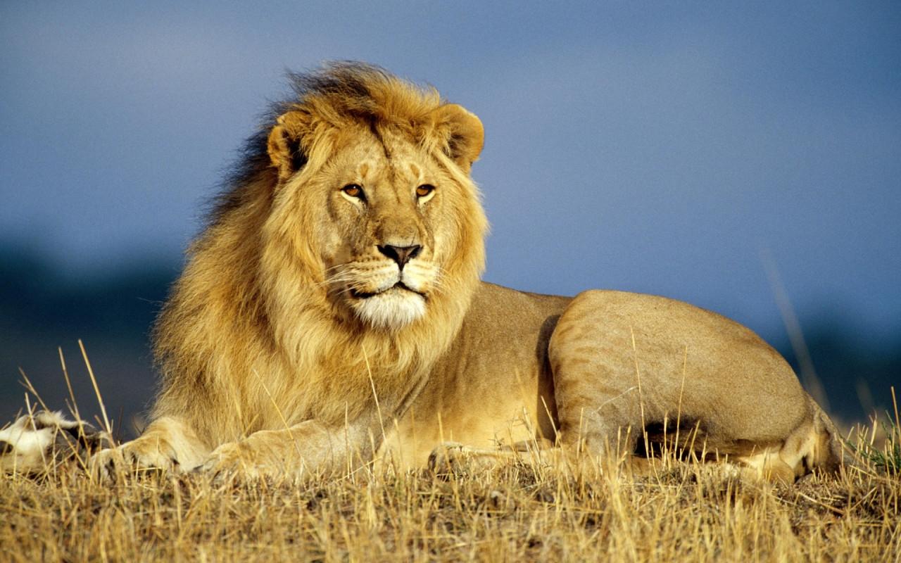 Imagenes de leones imagen leon en la sabana sentado - Animales salvajes apareandose ...