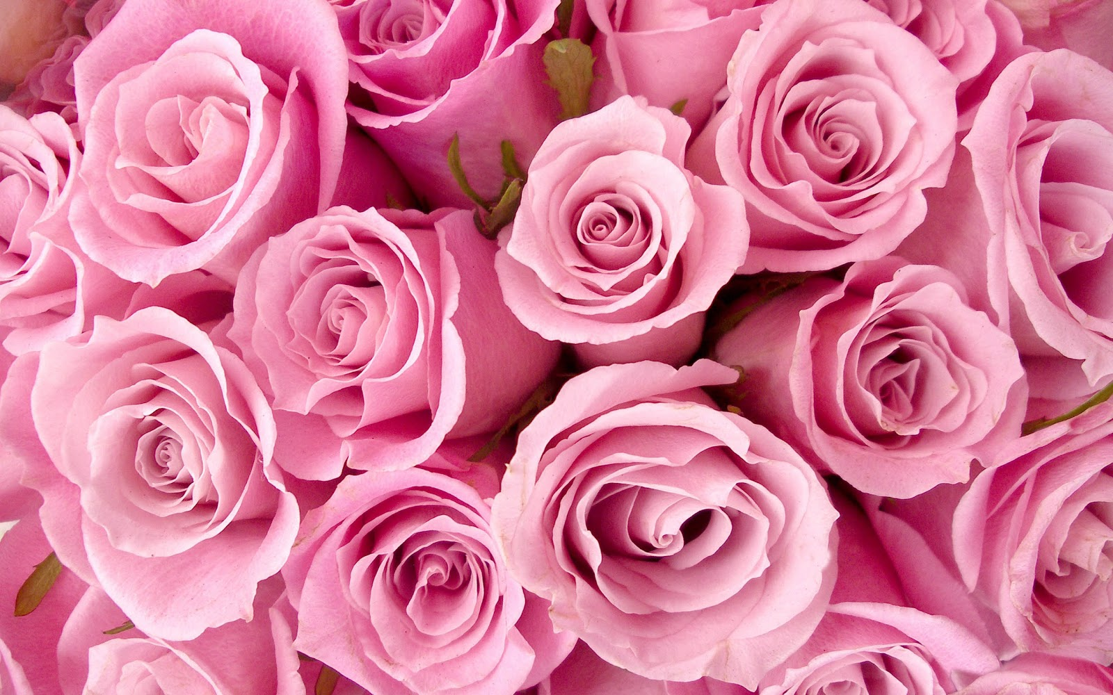 Valentine 39 s roses colors and meanings enjoying wonderful Colors that go with rose pink