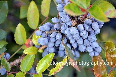 Blue berries of Creeping Oregon Grape