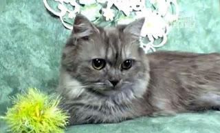 Gambar Kucing Napoleon